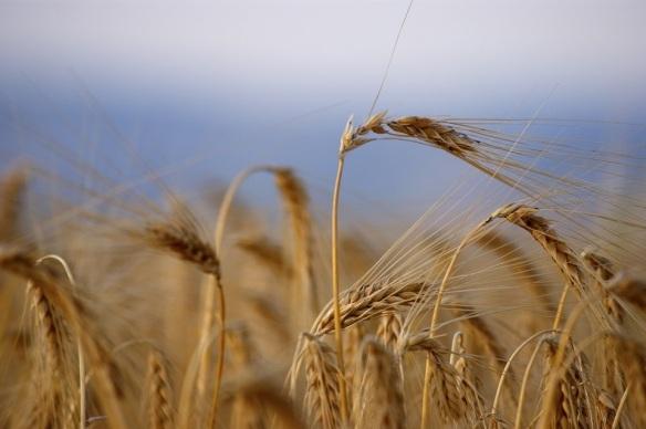harvest ready