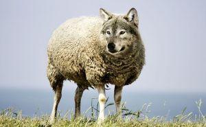 sheep clothes